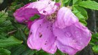 Water droplets on pink flower surrounded by lush green leaves