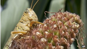 A grasshopper sits on a drought-damaged ear of corn near Council Bluffs, Iowa