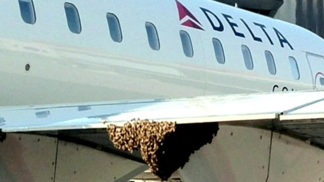Bees make their home on the wing of a plane