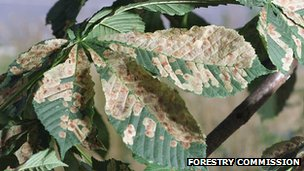 Horse chestnut leaf miner (Image: Forestry Commission)