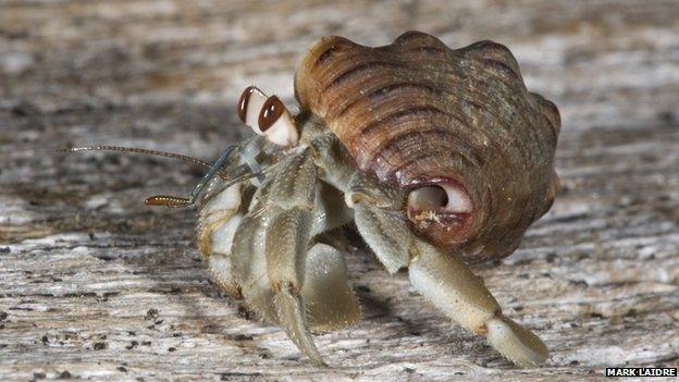 Ecuadorian hermit crab, Coenobita compressus