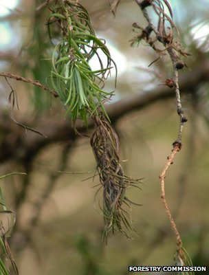 Phytophthora ramorum symptoms on a larch (Image: Forestry Commission)
