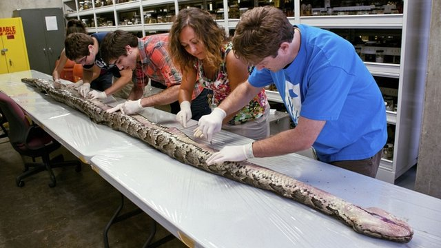 Burmese python found in Florida Everglades