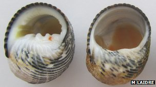 A gastropod shell and one carved out by a hermit crab