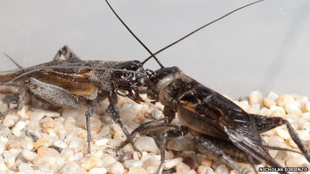 Gryllus integer field crickets