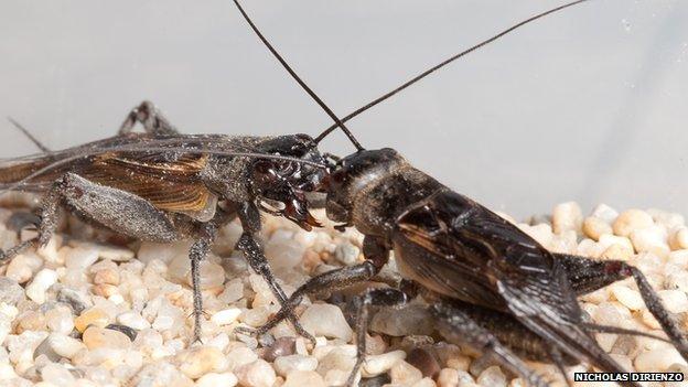 Gryllus integer field crickets