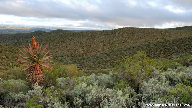 Fynbos shrubland in South Africa's Western Cape