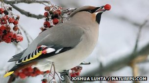 Waxwing holding berry
