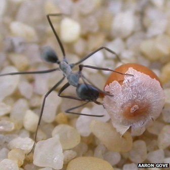 An Australian Iridomyrmex ant is attracted to a Guinea flower seed
