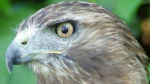 Red tailed buzzard Squeak