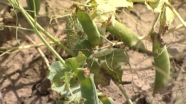 Pea crops ruined by wet weather