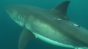 Great white shark with electronic tags