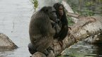 Pair of chimpanzees (c) WCS