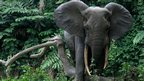 Forest elephant (c) WCS