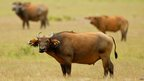 Herd of buffalo on savannah (c) WCS