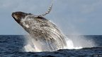 A breaching humpback whale (c) T Collins / WCS