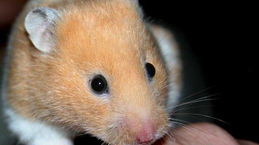 Hamster (generic)