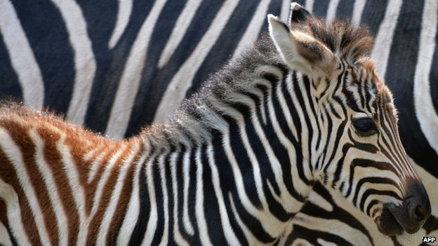 Zebra living in zoo