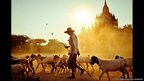 A man herds goats in front of a temple in Bagan, Burma