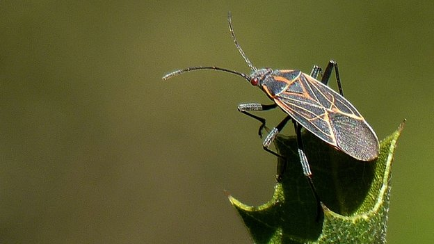 A western boxelder bug in the sun