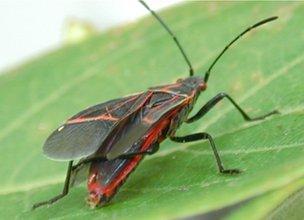 A western boxelder bug grooming