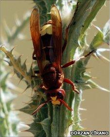 Oriental hornet (image: Durzan Cirano)