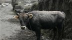 A cow covered with ashes near the Tungurahua volcano