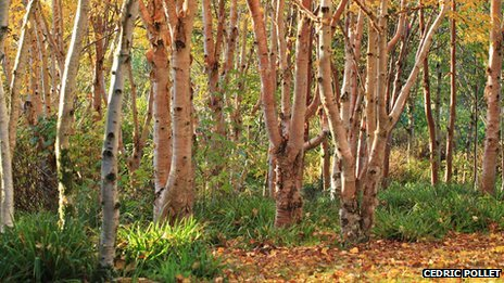 Birch at Stone Lane Gardens