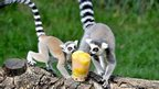 Lemurs in an enclosure at Rome Zoo
