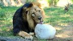 Asoka the lion in an enclosure at Rome Zoo
