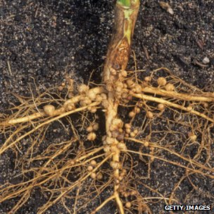 Soybean roots