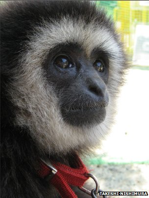 White-handed gibbon