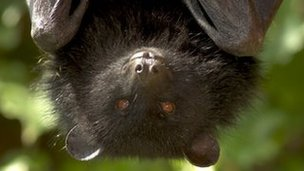 A Livingstone's fruit bat