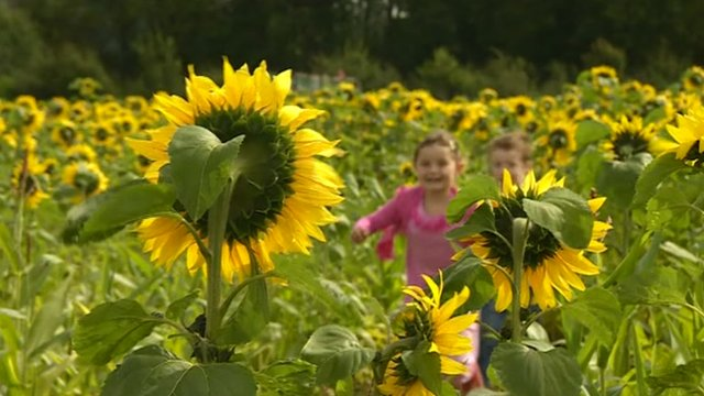 The Maize Maze organisers said most visitors were smaller than the sunflowers