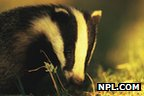 Badger (c) Andrew Parkinson/ Naturepl.com