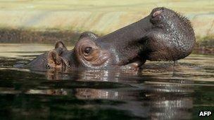 Hippo, file pic