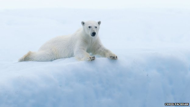 Polar bear on floating iceberg