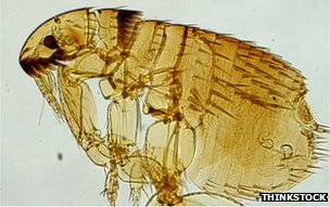 A flea in close-up