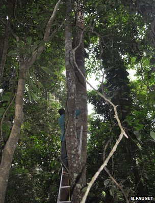Researcher taking a tree&#039;s measurement (Image: Barbara Fauset)