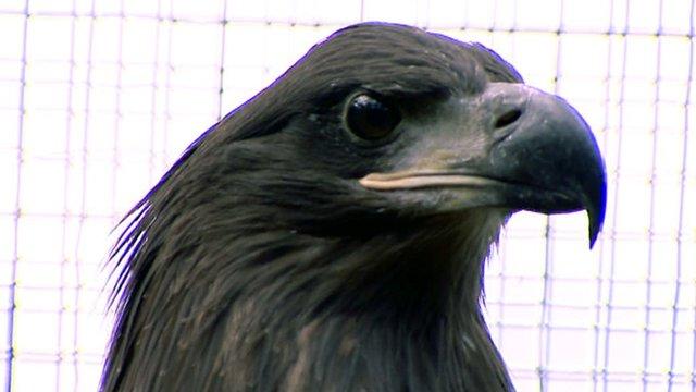 A sea eagle