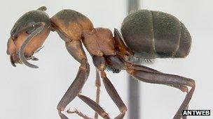 Hairy wood ant (Formica lugubris) (c) Antweb