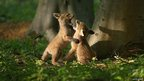 Fox cubs play, Rockingham Forest 