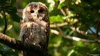 Juvenile tawny owl. Roman Camp, Bangor