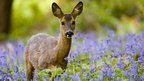 A female roe deer walking through the bluebells. Lords Wood. Keynsham, Somerset.