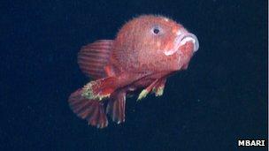 A swimming anglerfish
