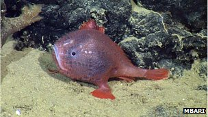 A blue-red Chaunacops coloratus anglerfish