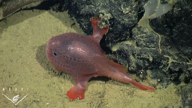 Chaunacops coloratus filmed by MBARI