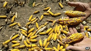 Serbian farmer shows maize harvest damaged by drought near the village of Trstenica on 22 August 2012