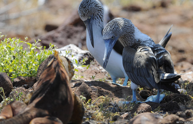 Blue-footed boobies look at a terrestrial iguana