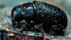 Adult great spruce bark beetle (Image: Forestry Commission)